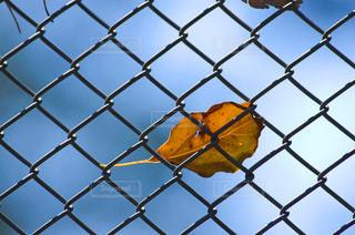 フェンスに貼り付いた枯葉の写真・画像素材[1407077]