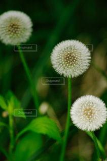 タンポポの綿毛の写真・画像素材[1407078]