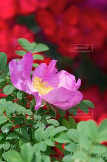 きれいなハマナスの花の写真・画像素材[1407079]