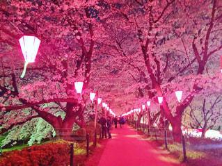 桜並木の写真・画像素材[1393991]
