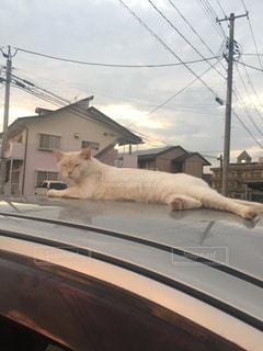 その口を開いて白猫の写真・画像素材[1394471]