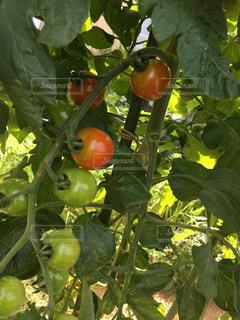ミニトマトの写真・画像素材[1395330]