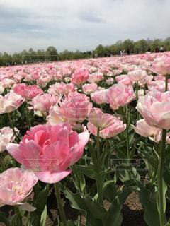 ピンクのチューリップの写真・画像素材[1396548]