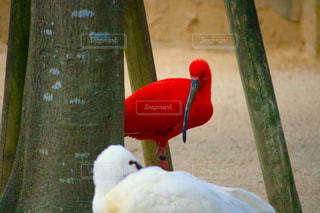 紅白鳥合戦の写真・画像素材[1396873]