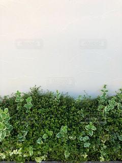 白と緑が綺麗なガーデニングの写真・画像素材[1592447]