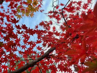 嵐山の紅葉の写真・画像素材[1641848]