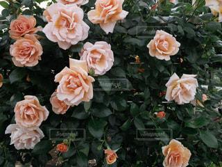 公園の薔薇の写真・画像素材[2106404]