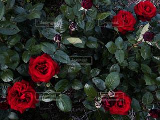 公園の赤薔薇の写真・画像素材[2106405]