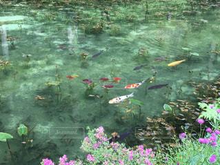 モネの池の写真・画像素材[1397320]