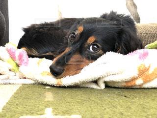 ひょっこり面の犬の写真・画像素材[1396326]