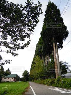 道の端に杉の木の写真・画像素材[1429766]