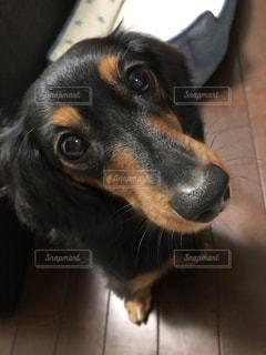 カメラを見て、愛犬の写真・画像素材[1531912]