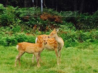 鹿2の写真・画像素材[1446646]