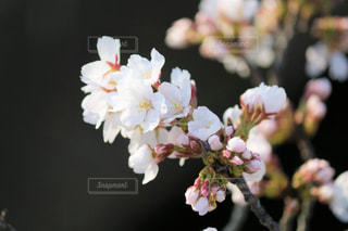 近くの桜の写真・画像素材[1397229]