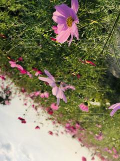 コスモスの花畑の写真・画像素材[1562707]