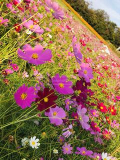 コスモスの花畑の写真・画像素材[1562708]