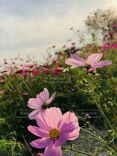 コスモスの花畑の写真・画像素材[1562710]
