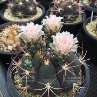 サボテンの花の写真・画像素材[1398423]