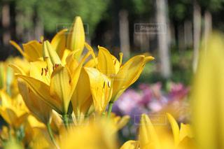 黄色い美しいユリの写真・画像素材[1410109]