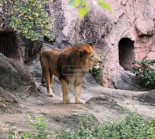 猛獣王ライオンの横顔の写真・画像素材[1410180]