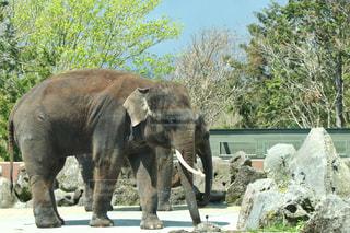 どっしり構えるアフリカ象の写真・画像素材[2178760]