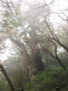 縄文杉の写真・画像素材[1399308]