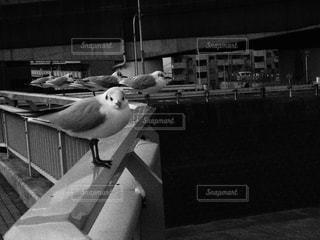モノクローム カモメ 鳥 目線 白黒の写真・画像素材[346724]