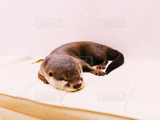 寝ているカワウソの写真・画像素材[1401414]