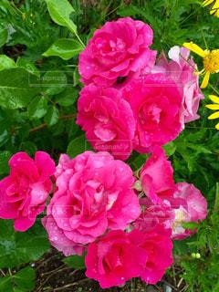 雨上がりの薔薇の写真・画像素材[1407317]
