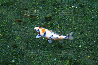 泳ぐ魚の写真・画像素材[1402233]