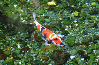 水面下を泳ぐ魚の写真・画像素材[1402234]