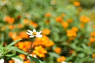 一輪の花の写真・画像素材[1403344]