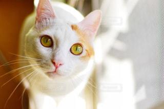 カメラを見ている猫の写真・画像素材[1412903]