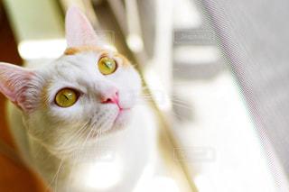 カメラを見ている猫の写真・画像素材[1412904]