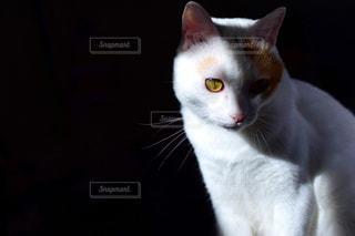 カメラを見ている猫の写真・画像素材[1468722]