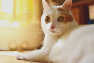家猫の写真・画像素材[1496398]