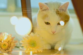 白猫の写真・画像素材[1657759]