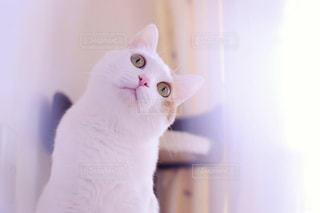 カメラを見ている猫の写真・画像素材[1709291]