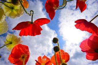 赤と黄色の花の写真・画像素材[2131960]