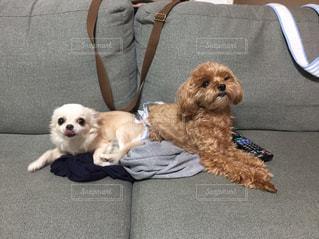 椅子に座っている犬の写真・画像素材[1405759]