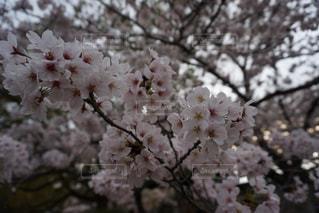 桜の写真・画像素材[1405766]