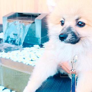 テーブルの上に座っている犬の写真・画像素材[1406727]