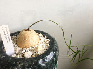 塊根植物の写真・画像素材[1411084]