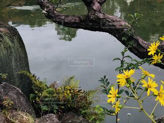 日本庭園内の池と黄色い花の写真・画像素材[1636654]