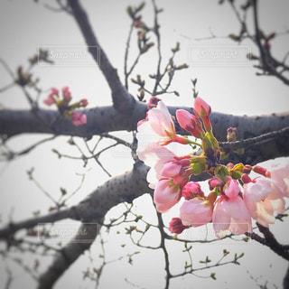 咲き初めの桜の写真・画像素材[1874980]