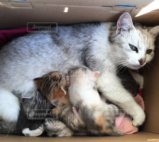 仔猫達に授乳中の猫の写真・画像素材[1408762]