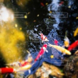 池の鯉の写真・画像素材[4099803]