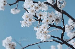 白梅の写真・画像素材[3014318]