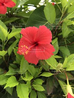 沖縄のハイビスカスの写真・画像素材[1410650]