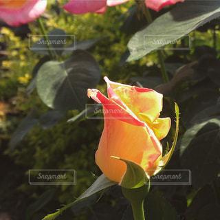 一輪の薔薇の写真・画像素材[891499]